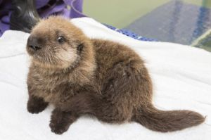 Baby_Sea_Otter